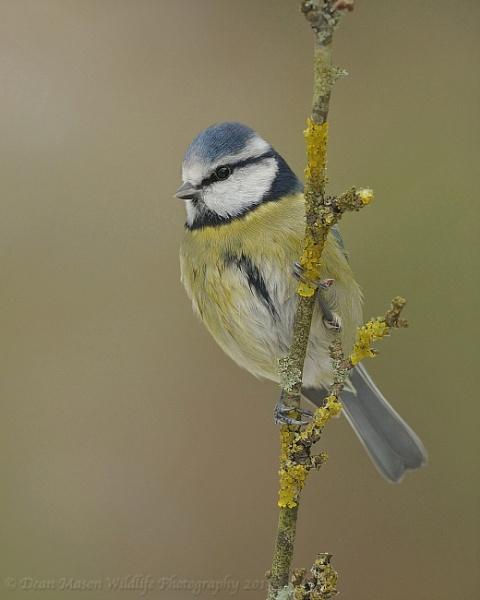 Blue Tit on Lichen branch by WindowonWildlife