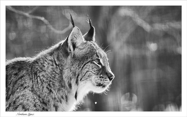Northern Lynx by Shane136
