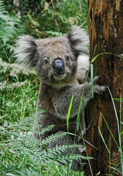 Koogee Koala up a gum tree by ozimax