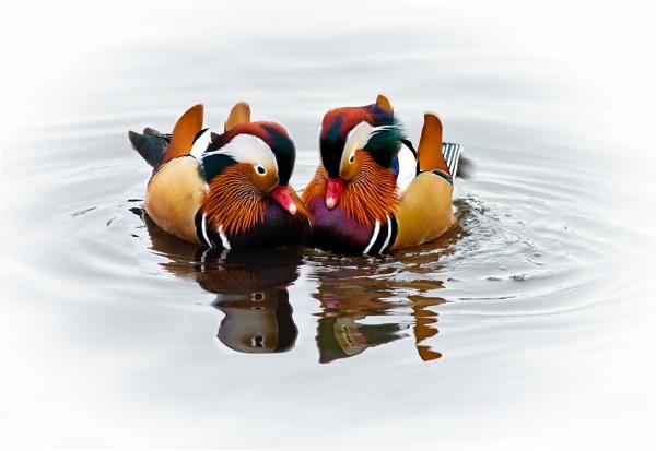 Two Little Ducks by tocketts