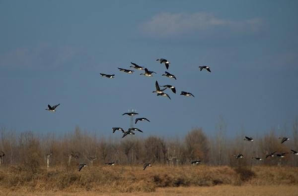 Wild Goose by Newdawei