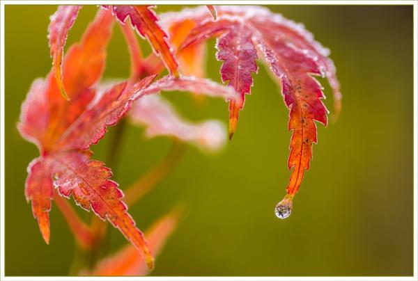 Frozen Acer by DalesLass
