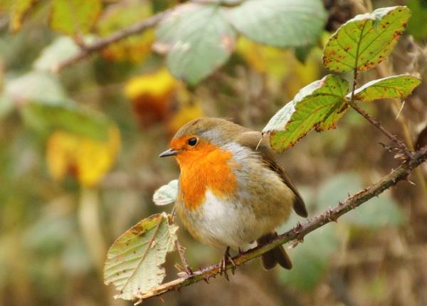 Robin by lustrells61
