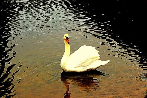 Swan.............. by crissyb