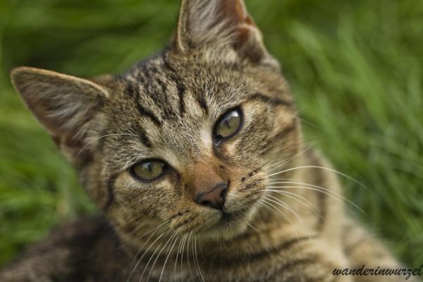 Posing kitten by wanderinwurzel