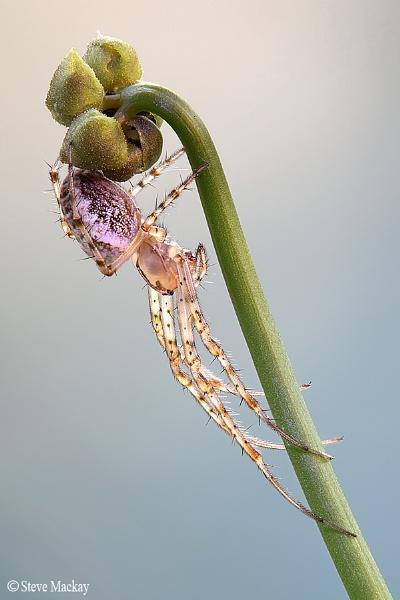 translucent Spider by SteveMackay