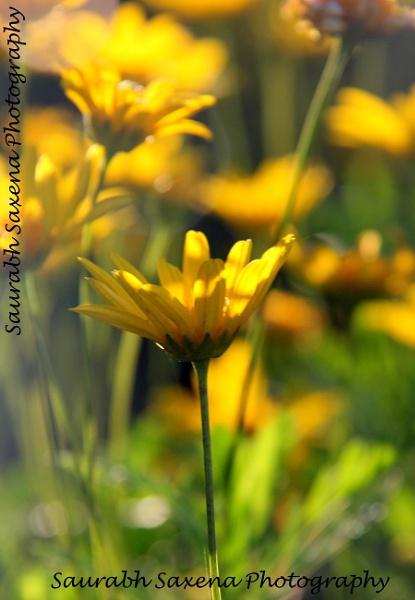Golden Daisy Bush by saurabh240386