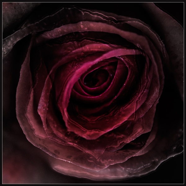Red Rose Abstract by Morpyre