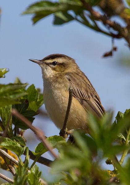 Sedge Warbler by amos_cmos