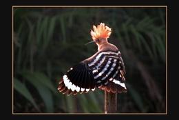 Hoopoe, (Upupa epop)