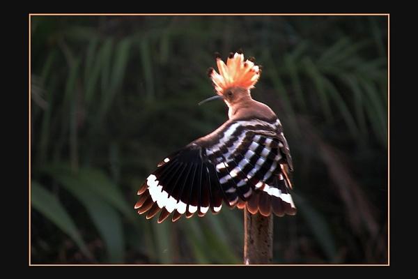 Hoopoe, (Upupa epop) by prabhusinha