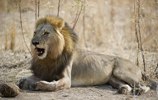 Roar of a King by ugly