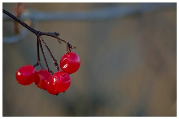 Guelder Rose Berries by malleader