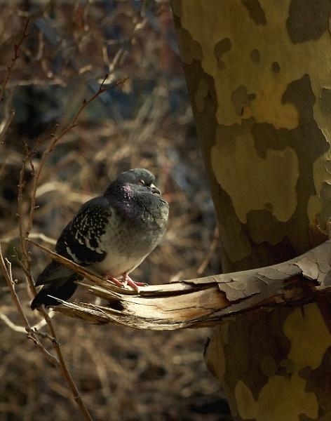 Pigeon by jimkon