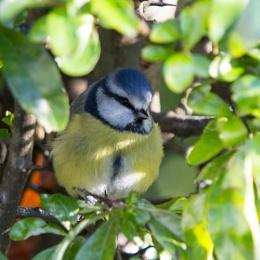 Blue Tit - Hiding