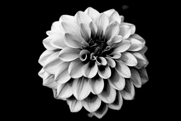 Mono Fine Art Flower by foz