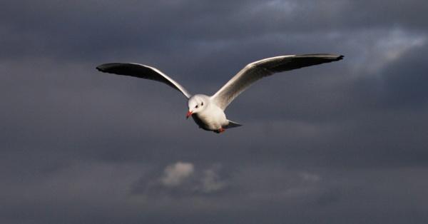 Black-headed Gull by Snapitt
