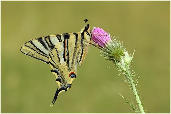 Scarce Swallowtail by NigelKiteley