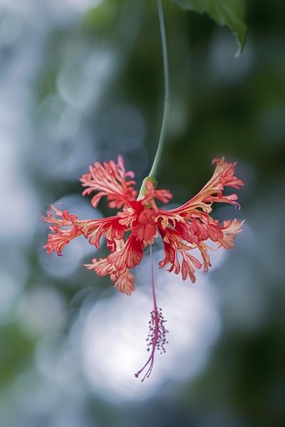 Hibiscus schizopetalus by jackyp