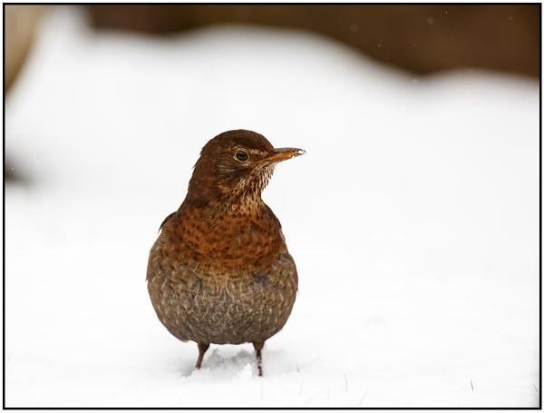 Female Blackbird by dark_lord