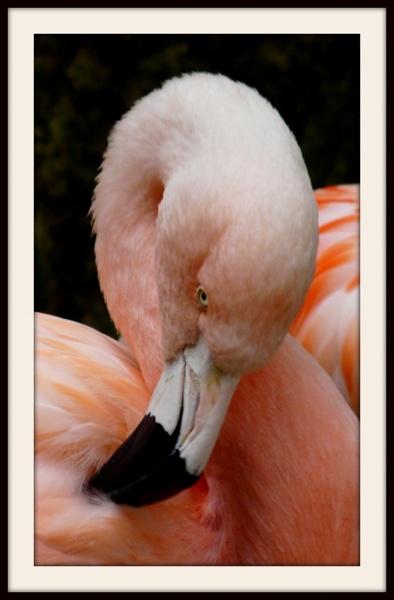 Pretty Flamingo by Philip_H