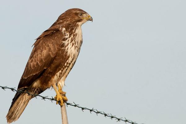 buzzard by burd
