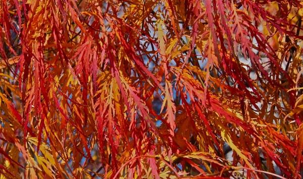 One more Cut Leaf Maple by handlerstudio