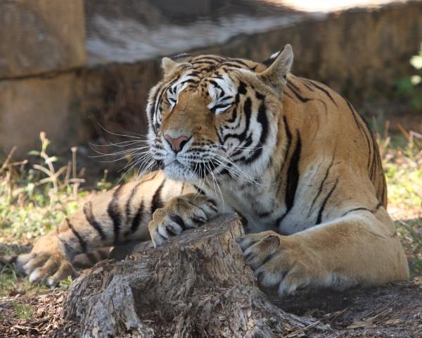 le tigre by lgc