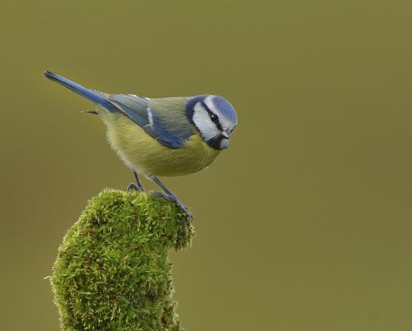 Blue Tit by KBan