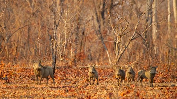Warthogs by vickyf