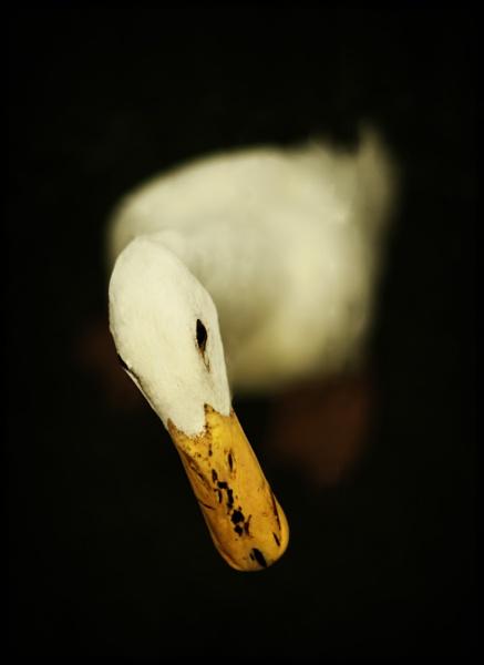 a duck by backbeat