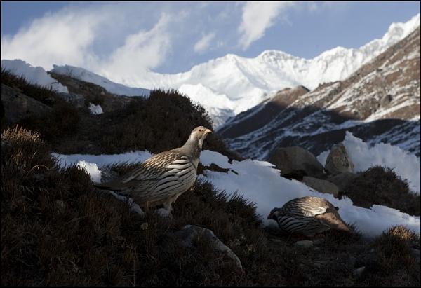 Tibetan Snowcock by yemtrav