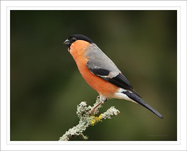 Male Bullfinch. by Graham_P