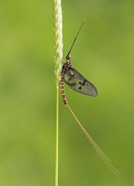 Mayfly....and its chosen stick!! by lawbert
