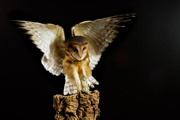 A brown faced barn owl by Geofferz
