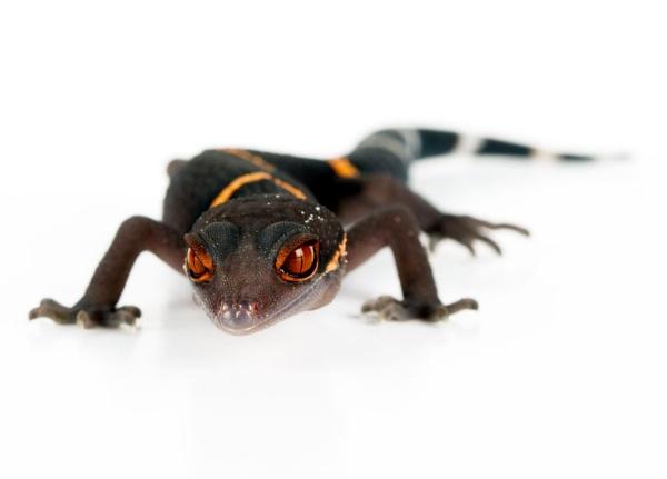 Gecko by Geofferz