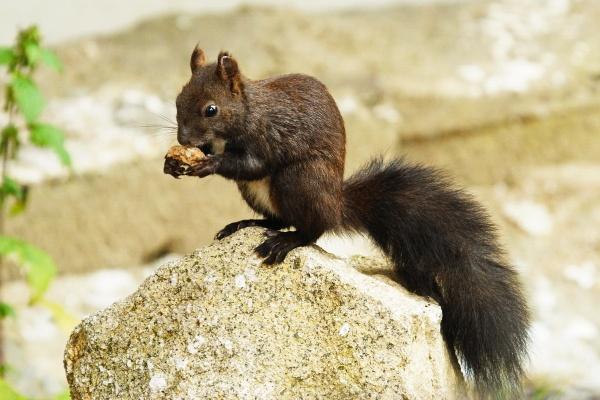 Squirrel - Veverica (Kopaonik mountain - Serbia) by zmecanin