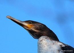 Cormorant High Up !