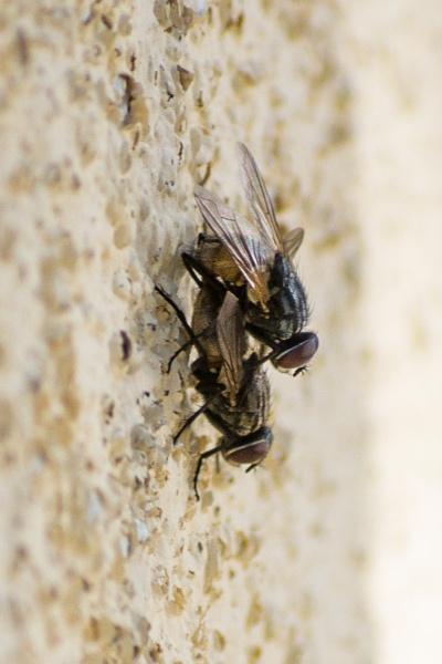 Flies by derrymaine