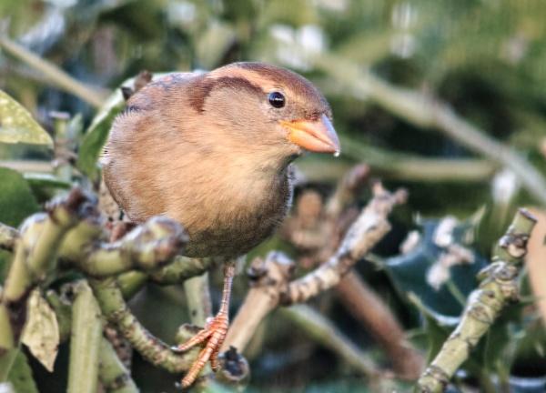 House Sparrow by jason_e