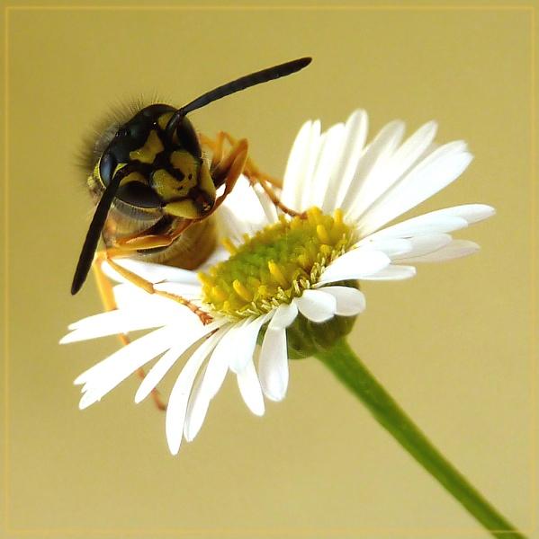 wistful wasp by CarolG
