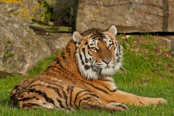 Amur tiger-Bagai by Mike59