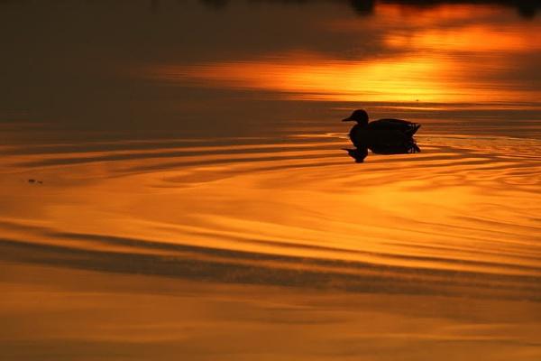 Sunset duck by zmecanin