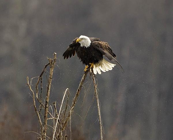 Bald eagle having a shake by hibbz