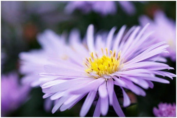 Aster by dark_lord