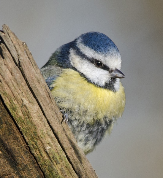 Blue tit by Jefflor