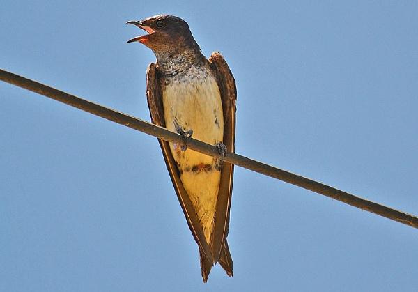 Swallow by Davidroid