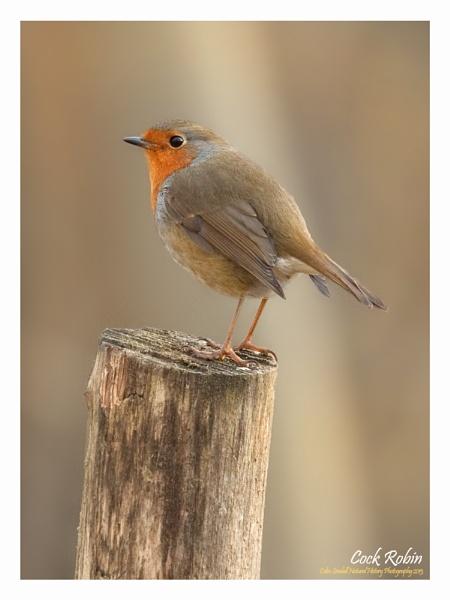 Cock Robin by Norfolkboy