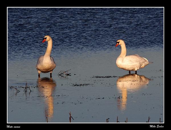 Mute swans by oldgreyheron