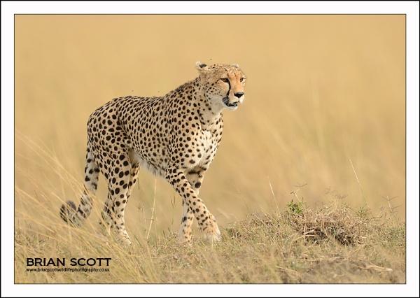 Cheetah by Brian_Scott
